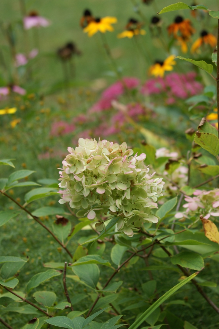 The Limelight hydrangeas are new this year and while a little top heavy they change colors with the season just like they promised.