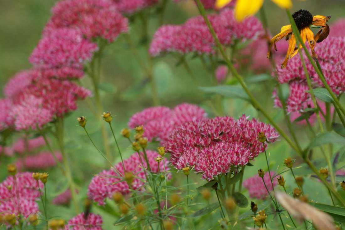 Called Autumn Joy for a reason, the sedum that was the first to emerge in spring finally gets its moment.