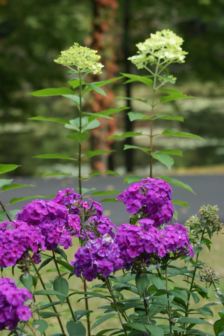 The phlox has been blooming all summer long.