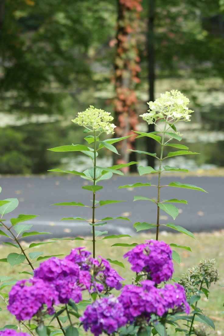 The hydrangea (new this year) bloomed mid July and has buds even now.