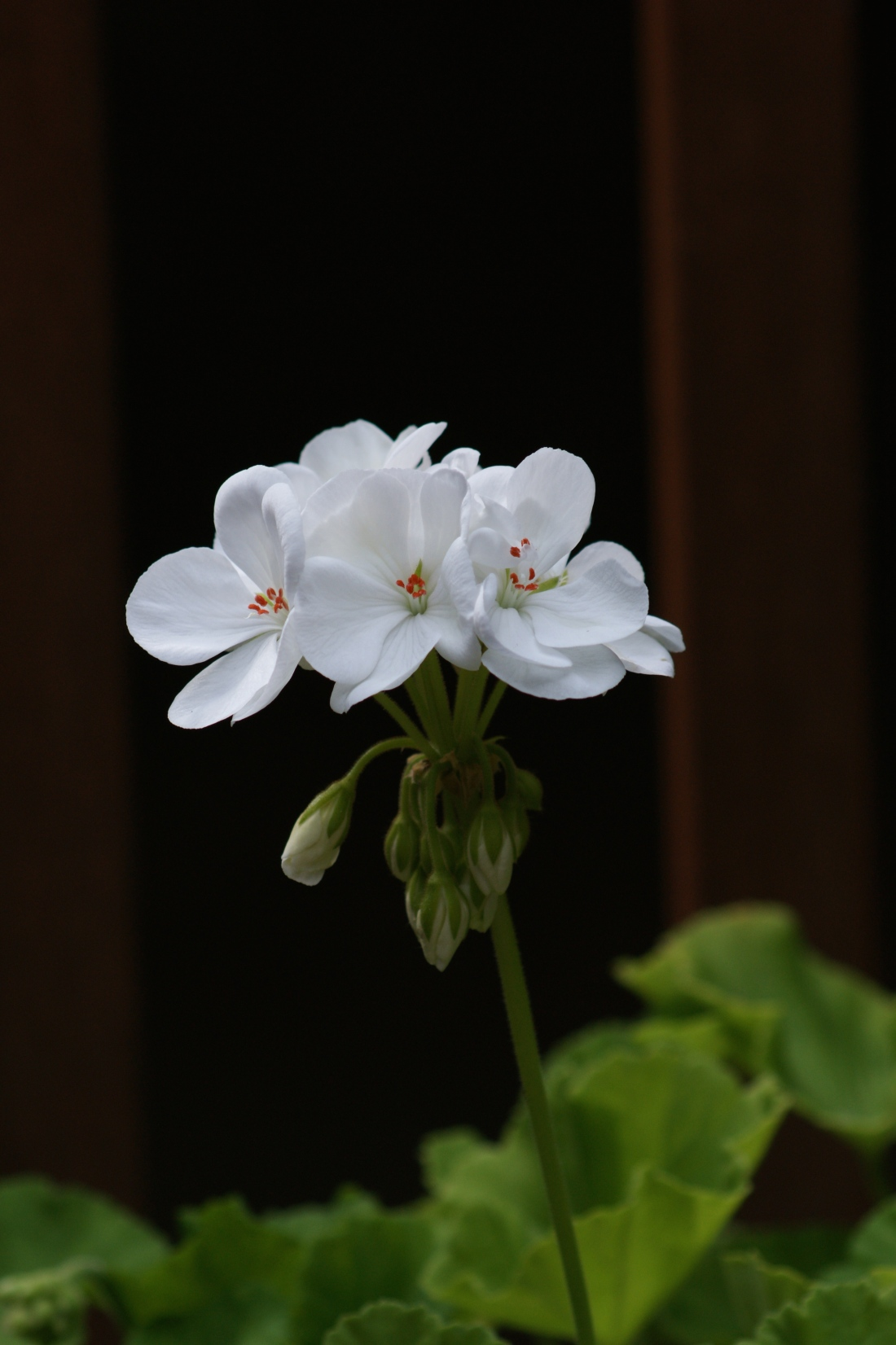 The geraniums are starting to look a little spindly but have a few fresh summer colors left in them.